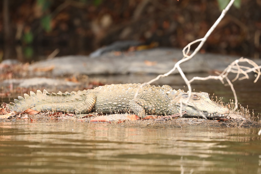 a caiman resting on shore