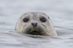 Eye to eye with a harbor seal, near Protection Island in Washington state. Many photos of paddlers and wildlife we see have been taken with a telephoto lens and cropped. | Photo: Gary Luhm