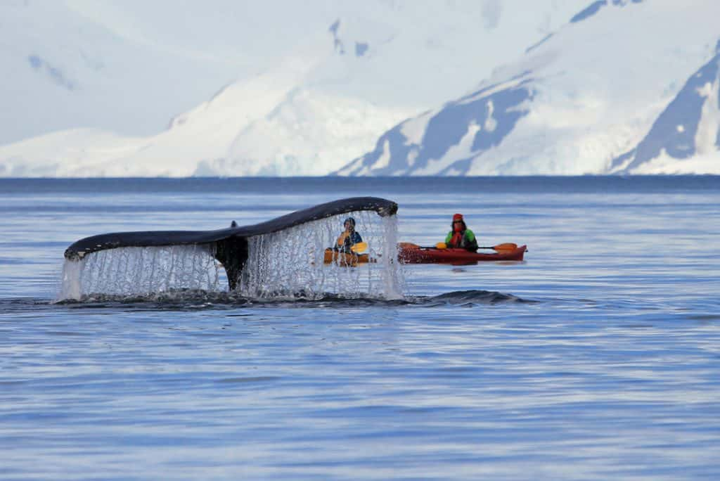 whales and kayakers