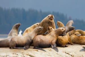 Steller Sea Lion haul out in Glacier Bay, Alaska. The National Oceanic and Atmospheric Association recommends motorboats keep a distance of 50 yards from swimming seals and sea lions, and 100 yards for shored up animals. | Photo: Gary Luhm
