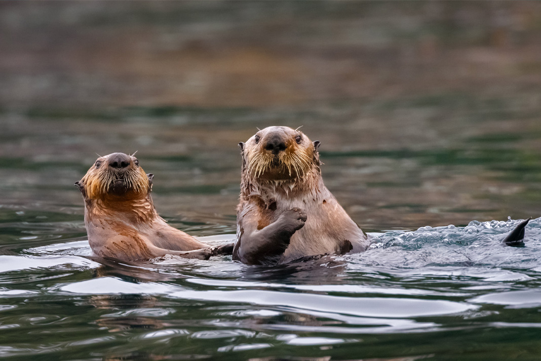 Two sea otters swim together above the water.