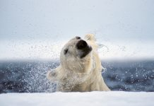 The average male polar bear weighs between 775 to 1,200 pounds (351 to 544 kilograms). See more of Paul Nicklen's limited edition fine art collection at paulnicklen.com/fine-art. | Photo: Paul Nicklen