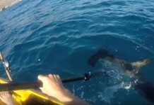 angler fights off hammerhead shark