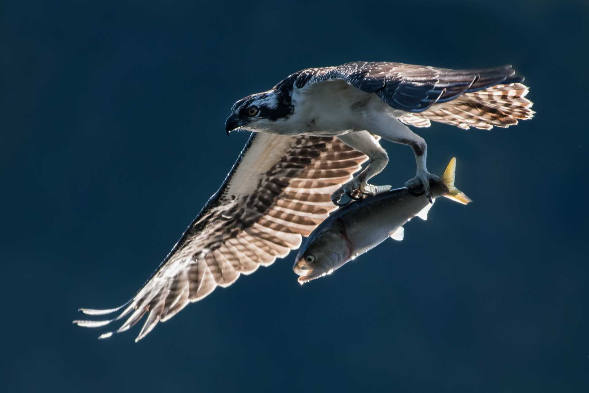 Hawk flies over water with fish in its claws.