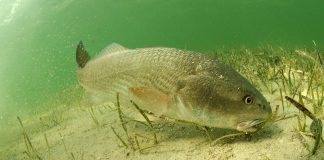 Red drum feeding off the bottom