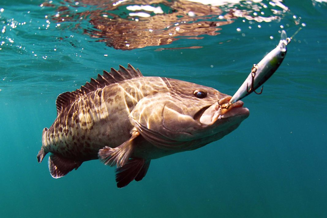 Grouper hooked on lure under water